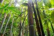 Ditemukan, Bambu Keunguan dari Pulau Sumba