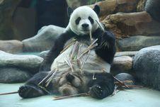 Cai Tao dan Hu Chun, Panda Lucu di Taman Safari Indonesia