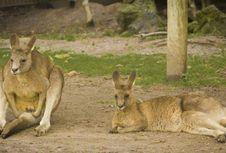 Australia Gagal Kendalikan Populasi Kanguru