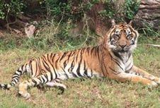 Harimau Sumatera Tertua di Dunia Disuntik Mati