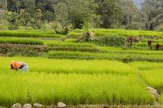 Hama Keong Mas Serang Puluhan Hektar Padi di Lebak