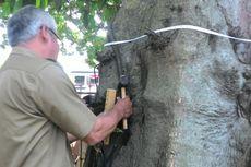 Cegah Pohon Tumbang, 300 Pohon di Bogor Diperiksa dan Diberi KTP