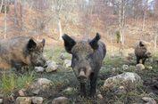 Tiga Pejuang ISIS Diserang Sampai Mati oleh Babi Hutan di Irak