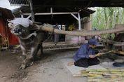 Populasi Turun, Kerbau di Daerah Ini Wajib Bunting