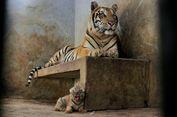 Bayi Harimau Benggala Lahir di Banjarnegara, Namanya 'Lusi'