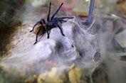 Laba-laba Tanpa 'Jet Lag' Ini Punya Jam Biologis Tercepat di Dunia