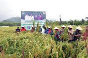 Kota Tidore Sukses Panen Perdana Padi Gogo 16 Ton