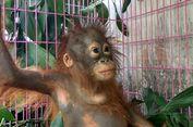 Jual Orangutan 'Online', Seorang Pelaku Ditangkap Petugas
