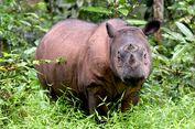 Badak Sumatera di Malaysia Alami Tumor Rahim, Kok Bisa?