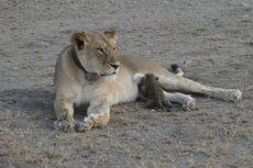 Pertama Kali, Induk Singa Adopsi Anak Macan Tutul