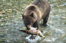 Gara-gara Perubahan Iklim, Beruang Pun Terpaksa Jadi Vegetarian