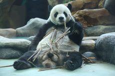 Ingin Lihat Panda Menggemaskan di Taman Safari? Ini Harga Tiketnya...