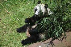 Jangan Lakukan Ini Saat Melihat Panda di Taman Safari