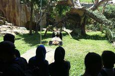 Asyik! Sekarang Wisatawan Bisa Melihat Panda di Taman Safari