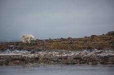 Viral Video Beruang Kutub Cari Makan di Tempat Sampah, Fenomena Apa?