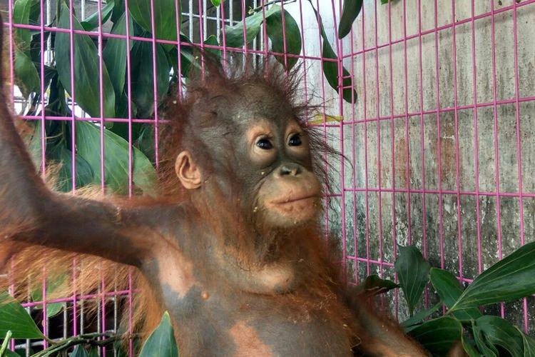Salah satu Orangutan yang diamankan petugas saat berada di Mako SPORC, Pontianak, Kalimantan Barat (22/8/2017).