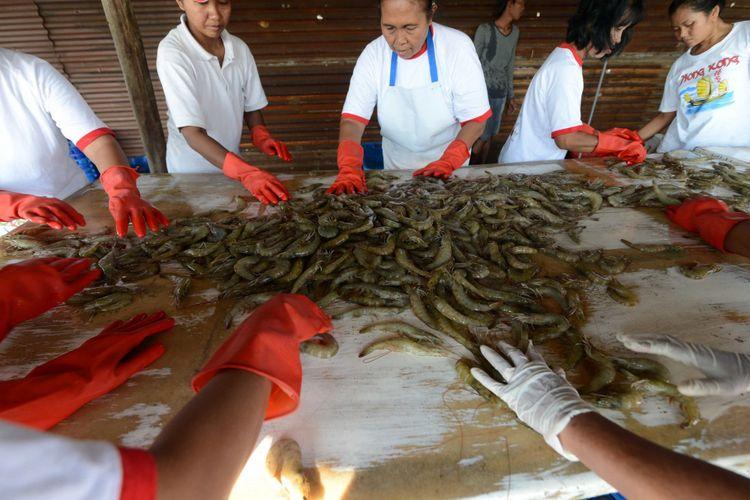 Pekerja memanen udang vanamei yang dikembangkan kelompok tani Sadewo Dadi di Desa Kartika Jaya, Kecamatan Patebon, Kabupaten Kendal, Jawa Tengah, Jumat (11/7/2014). Budidaya tambak udang tersebut merupakan hasil pendampingan teknologi dari Balai Besar Perikanan Budiaya Air Payau Jepara (BBPAP) sejak tahun 2010. Udang vanamei tersebut sebagian besar untuk memenuhi kebutuhan ekspor ke China, Amerika dan Jepang.