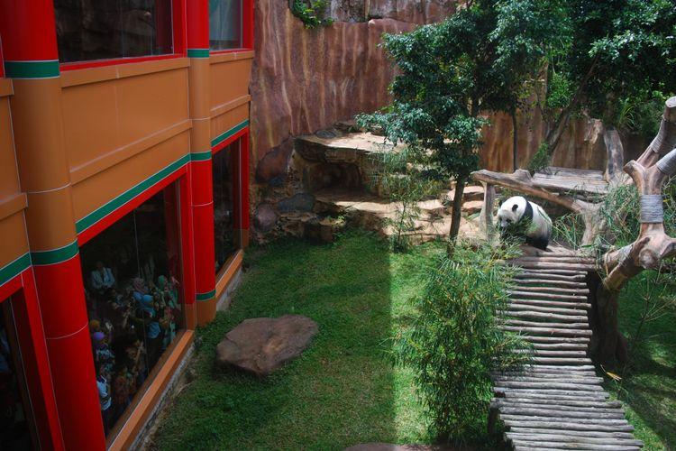 Panda raksasa di Taman Safari Indonesia. Foto: Kompas.com / Ramdhan Triyadi Bempah
