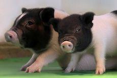 Babi Bebas Virus Diciptakan untuk Transplantasi Organ Manusia