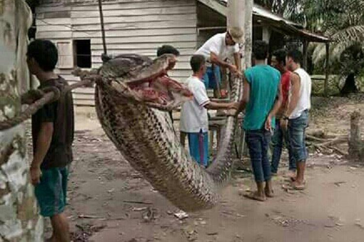 ular piton sepanjang 7 meter yan   g ditangkap warga di Riau.