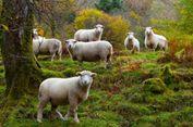 Ratusan Domba Jatuh ke Jurang dan Mati akibat Dikejar Beruang