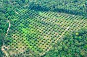 Kadal Raksasa Berkembang Pesat di Perkebunan Sawit Borneo