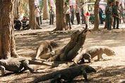Pria Ini Nekat Tarik Ekor Komodo untuk Selamatkan Temannya
