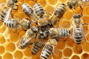 Seperti Manusia, Lebah Juga Bisa Kidal
