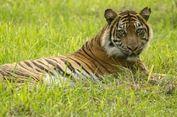 Harimau Sumatera di Ujung Kepunahan, Siapa Pelakunya?