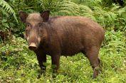 Babi Hutan Ganggu Ujian Tengah Semester Sekolah di Jepang