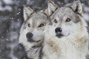 Anjing dan Serigala, Mana yang Lebih Pandai Bekerja Sama?