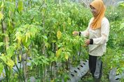 Lindungi Petani Cabai, Kementan Terapkan Pola Kemitraan
