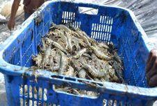 Petambak Udang di Indonesia Timur Dilatih Tingkatkan Produktivitas