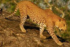 Bunuh 7 Orang, Macan Tutul di India Ditembak Mati