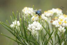 Upaya Menjaga Bunga Edelweis dari Kepunahan