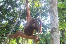 Penting! Tata Cara Melihat Orangutan Langsung di Habitatnya