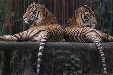 Orang Jakarta Bisa Selamatkan Harimau Sumatera kalau Mau Hemat Tisu