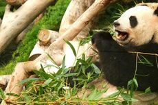 Kedatangan Panda ke Taman Safari Indonesia Diundur