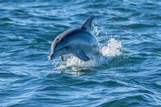 Fakta Lumba-lumba, Makin Besar Otaknya, Makin Supel