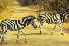 Ada Sesuatu tentang Zebra yang Tak Pernah Diketahui Manusia, Ini Dia