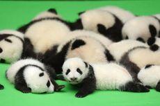 Berkat Bayi Panda, Saham Emiten Jepang Ini Cemerlang