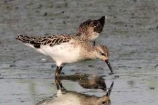 Burung Pantai Perlu Dilestarikan, Kerjasama Dunia Dibutuhkan