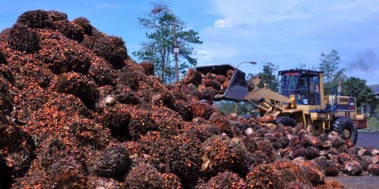 Ilustrasi: seorang operator alat berat sedang merapikan tumpukan sawit untuk dimasukkan ke mesih pengolahan CPO.