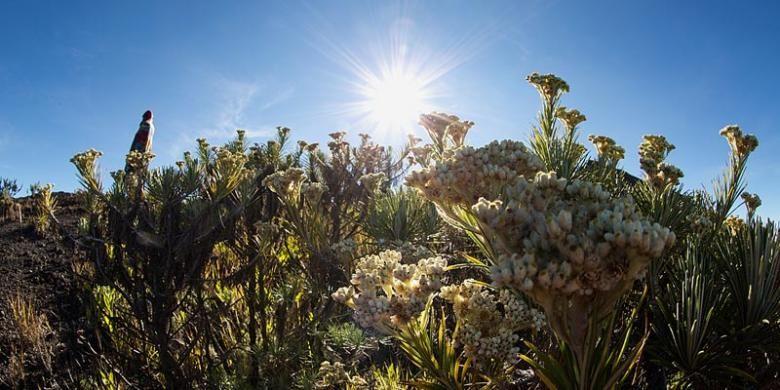 Bunga edelweis tumbuh subur di bibir Kaldera Tambora rute Dorocanga.