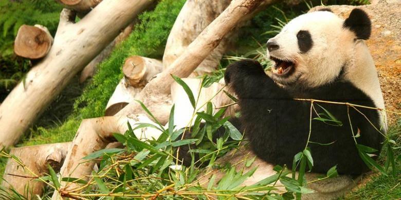 Panda di Macau Giant Panda Pavilion.