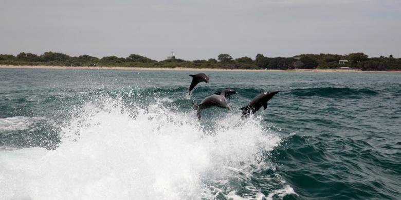 Kalau di Indonesia ada Pantai Lovina yang terkenal dengan lumba-lumbanya, di Negeri Kanguru Anda bisa menjumpai hal serupa di Port Stephens.