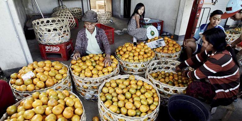 Penyortiran buah jeruk hasil panen di Kintamani, Kabupaten Bangli, Bali, untuk selanjutnya dijual ke pedagang.