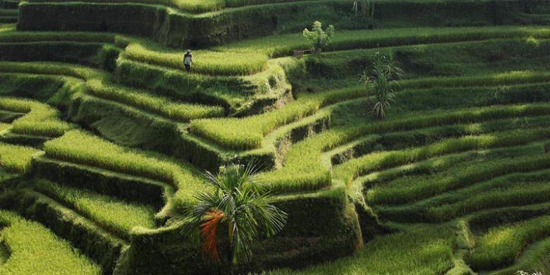 Petani beraktivitas di sawahnya yang berundak di Tegalalang, Ubud, Bali, Minggu (7/4/2013). Sawah berundak dan aktivitas petani menjadi pemandangan yang banyak menarik wisatawan lokal maupun mancanegara datang ke Bali. Indonesia ditunjuk sebagai tuan rumah Konferensi Pelestarian Sedunia pada 2017 mendatang yang akan berlangsung di Ubud, Bali.