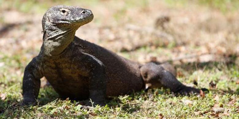 Satwa endemik Komodo (Varanus komodoensis) di Pulau Rinca, Kecamatan Komodo, Manggarai Barat, Nusa Tenggara Timur, Senin (4/6/2012). KOMPAS IMAGES/RODERICK ADRIAN MOZES(KOMPAS IMAGES/RODERICK ADRIAN MOZES)