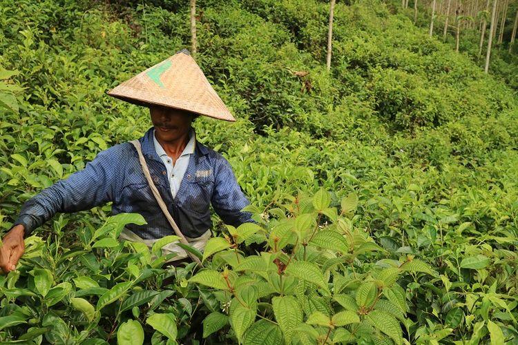 Petani Kebun Teh Kertowono tengah memetik pucuk daun teh pada suatu pagi, Senin (10/5/2017). Perkebunan Teh Kertowono berdiri sejak tahun 1910.